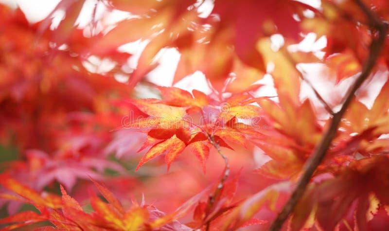 японец выходит красный цвет клена стоковое фото rf