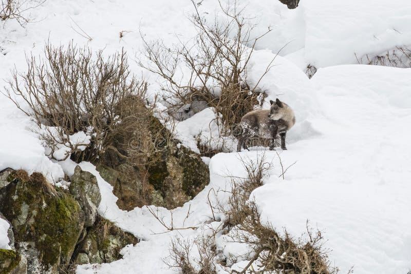 Японец Serow на Snowbank стоковое фото rf