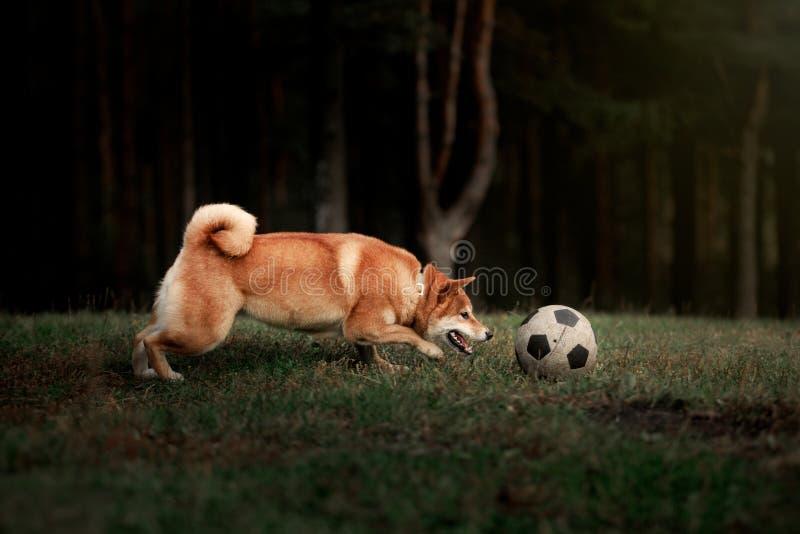 Японец Shiba породы собаки красный стоковая фотография