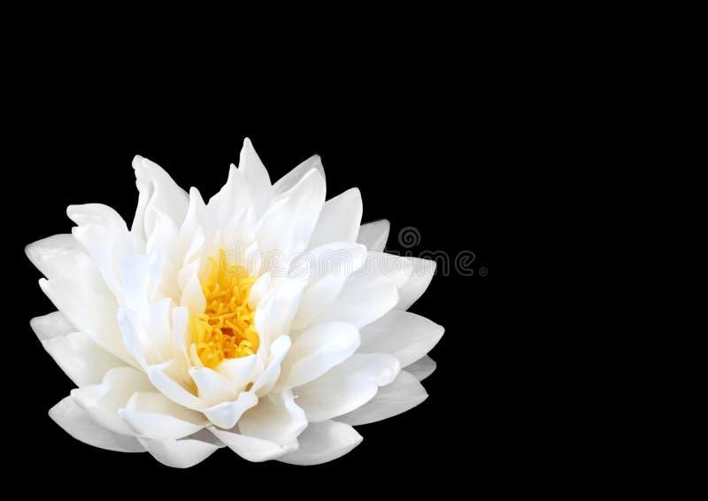 японская вода лилии стоковое изображение rf