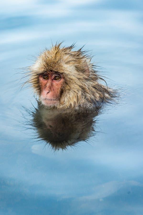 Японская макака в воде естественных горячих источников стоковое изображение rf
