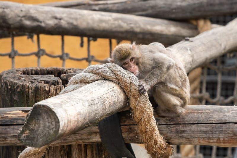 Японская макака в зоопарке Москвы стоковые фотографии rf