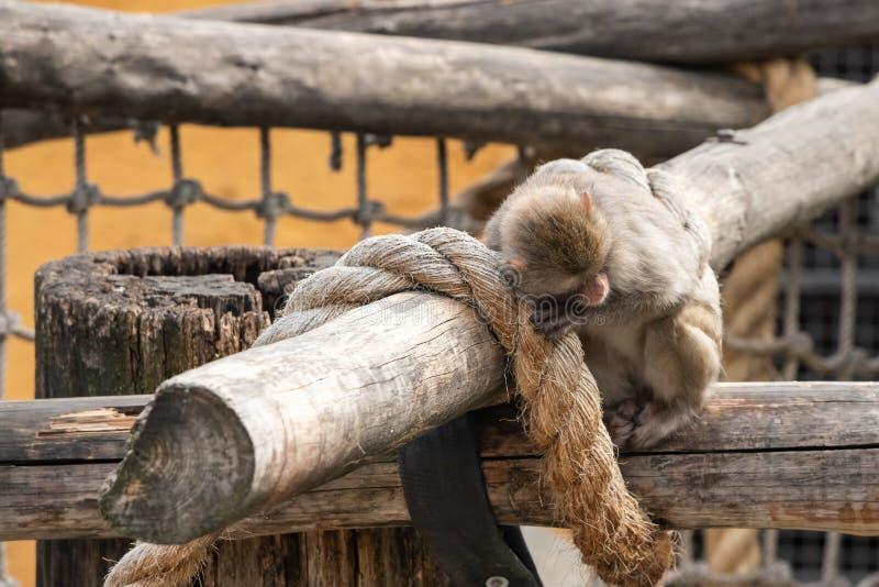 Японская макака в зоопарке Москвы стоковые фото