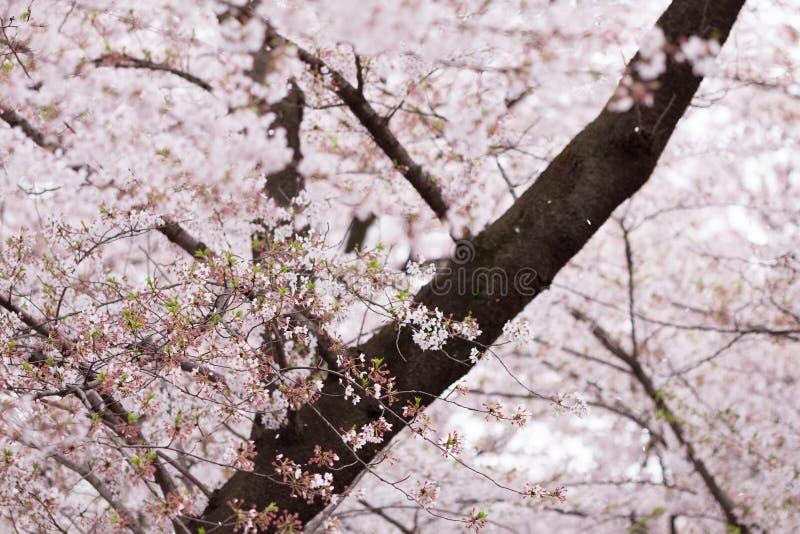 Японские вишневые цвета на парке Ueno, Токио стоковые изображения rf