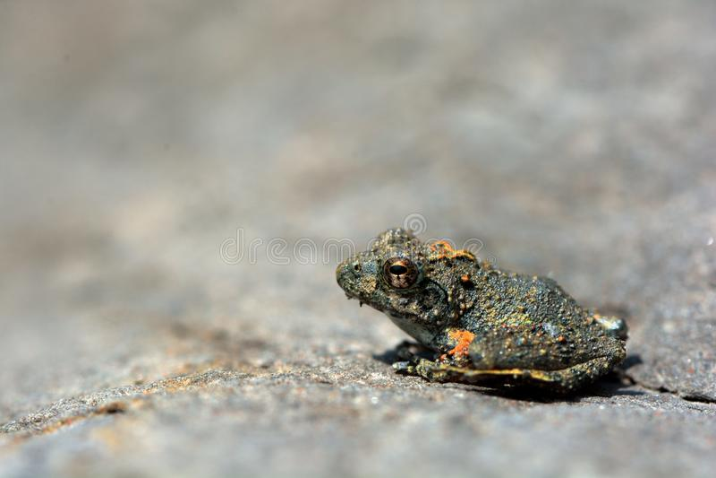 Японские древесные лягушки стоковое изображение