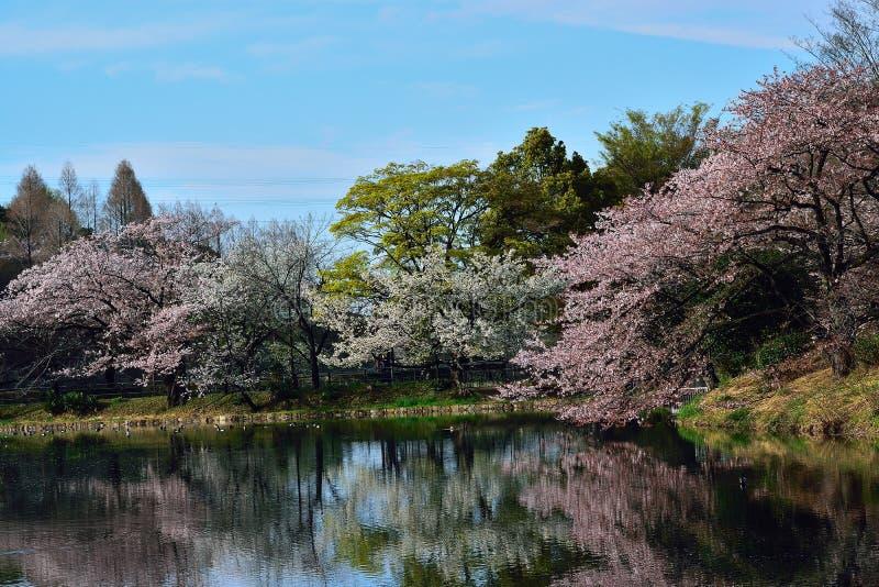 Японский ландшафт весны белых отражений вишневых цветов стоковые фотографии rf