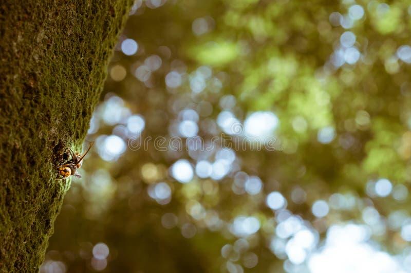 Японский гигантский шершень на дереве увиденном издалека стоковое изображение