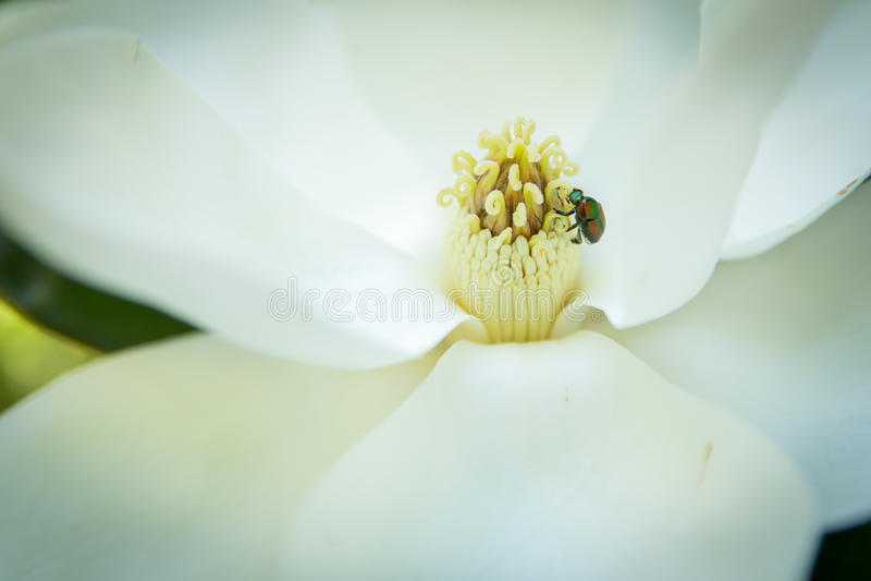 Японский жук внутри цветка магнолии стоковая фотография