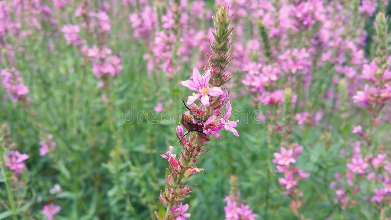 Японский жук есть розовый цветок стоковое изображение