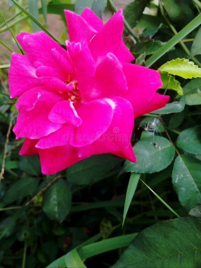 Японский пинк Роза стоковые фото