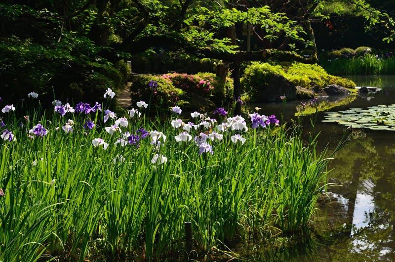 Японский сад весной, зацветая радужка Киото япония стоковые фотографии rf