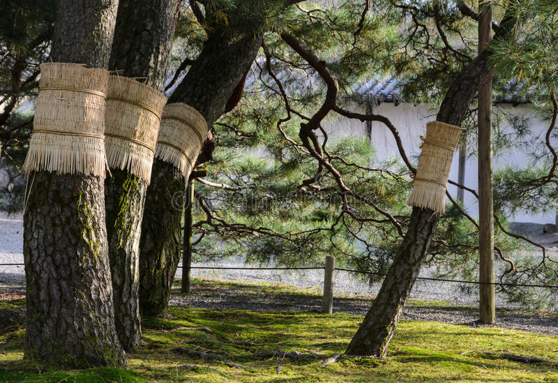 Японский сад сосны в Киото, Японии стоковая фотография rf