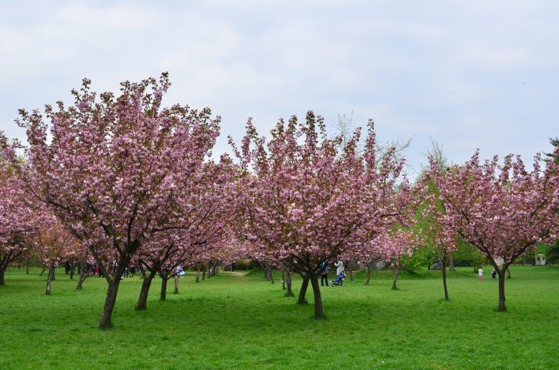 Японский сквер вишневых деревьев, люди ослабляя стоковая фотография rf