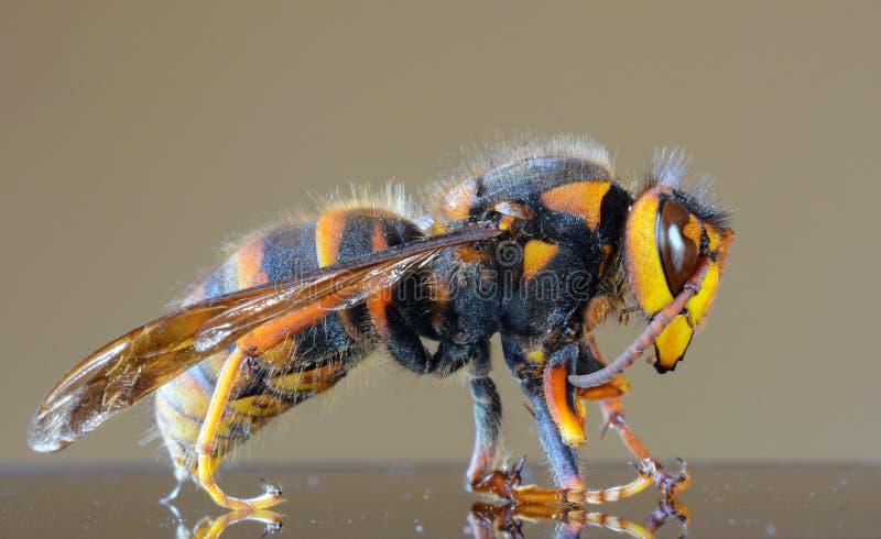 Японский также вызванный макрос крупного плана гигантского шершня, гигантской пчелой воробья стоковое фото rf