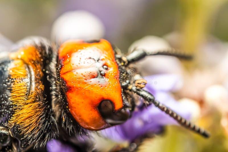 Японский Vespa Mandarinia Japonica гигантского шершня собирает цветень цветка стоковые изображения