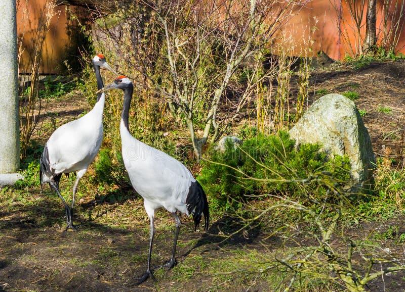 2 японских крана совместно, угрожаемые птицы от Азии стоковые фотографии rf