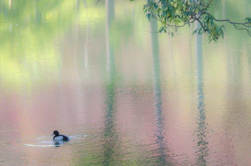Японское озеро вишневого цвета стоковые фотографии rf