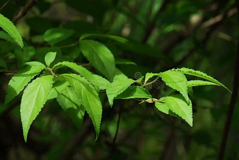 Яркая ая-зелен весна выходит Deutzia Scabra, декоративного уроженца к семье заводов гортензии, уроженца кустарника в Японии стоковые фотографии rf