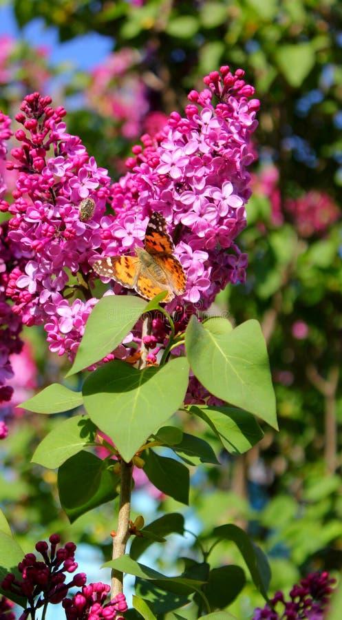 Яркая бабочка на цветках сирени стоковые фотографии rf