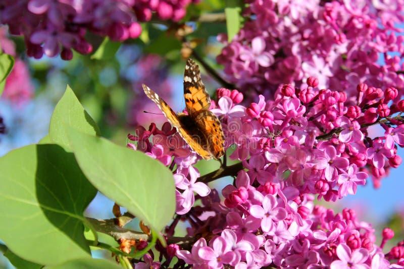 Яркая бабочка на цветках сирени стоковое фото