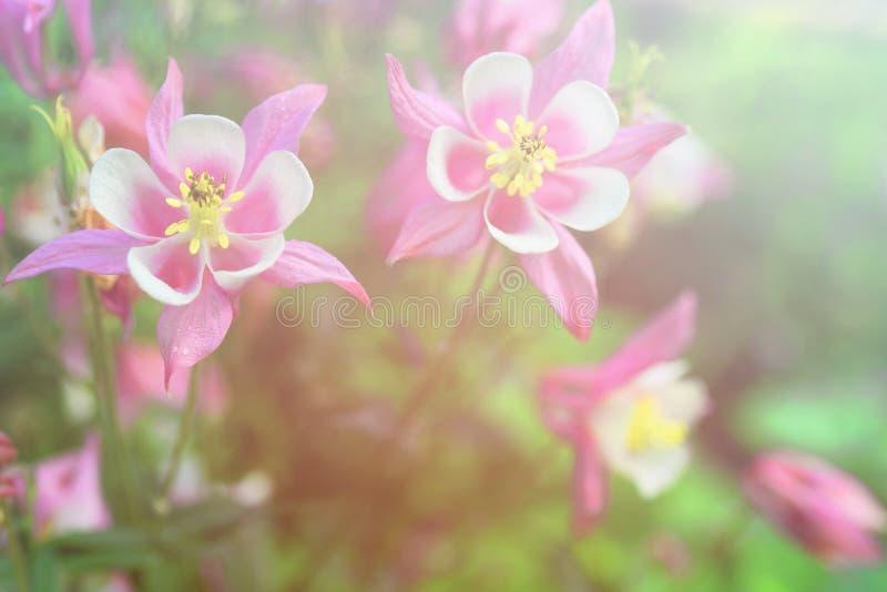 Яркая винтажная флористическая предпосылка с красивыми розовыми и белыми цветками Aquilegia стоковая фотография rf