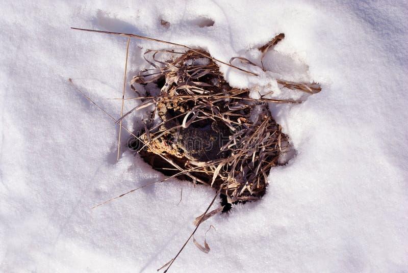 Яркая желтая сухая трава и желтый утес, белая предпосылка снега стоковые изображения