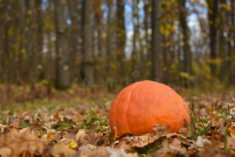 Яркая желтая тыква лежит на листве осени в лесе, хеллоуине стоковое фото rf