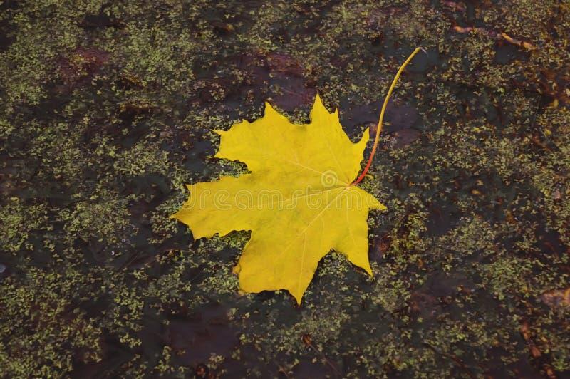 Яркая ложь листьев осени в воде Листья осени лож дуба в воде ложь кленовых листов осени в воде Желтый кленовый лист в swa стоковое фото