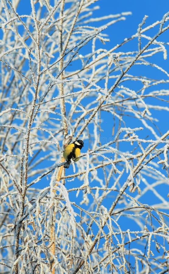 Яркая маленькая синица птицы сидит на ветвях дерева покрытых с пушистым белым заморозком и снегом в парке зимы морозном против стоковая фотография rf