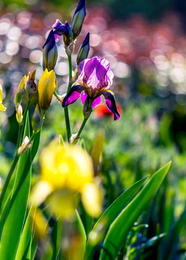 Яркая насыщенная флористическая предпосылка с нерезкостью и bokeh Glade или луг с зацветая радужкой фиолетовых сада желтой и сире стоковые изображения