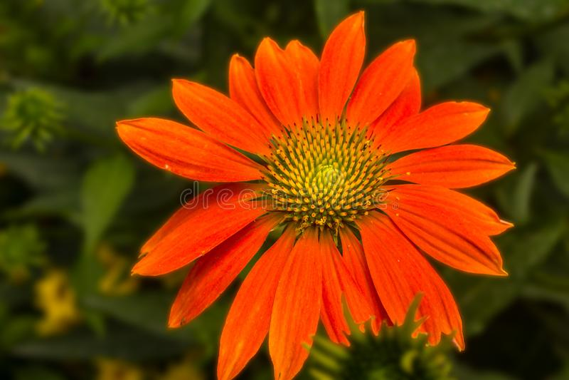 Яркая оранжевая маргаритка мексиканского солнцецвета стоковое фото