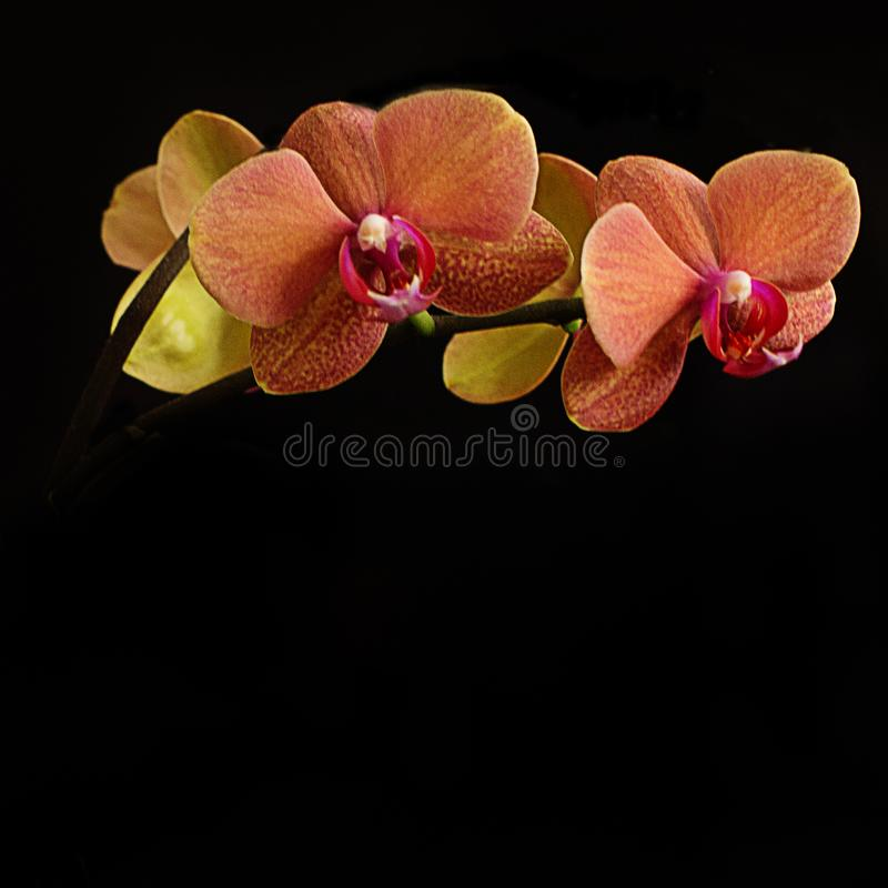 Яркая оранжевая орхидея на черной предпосылке стоковые фото