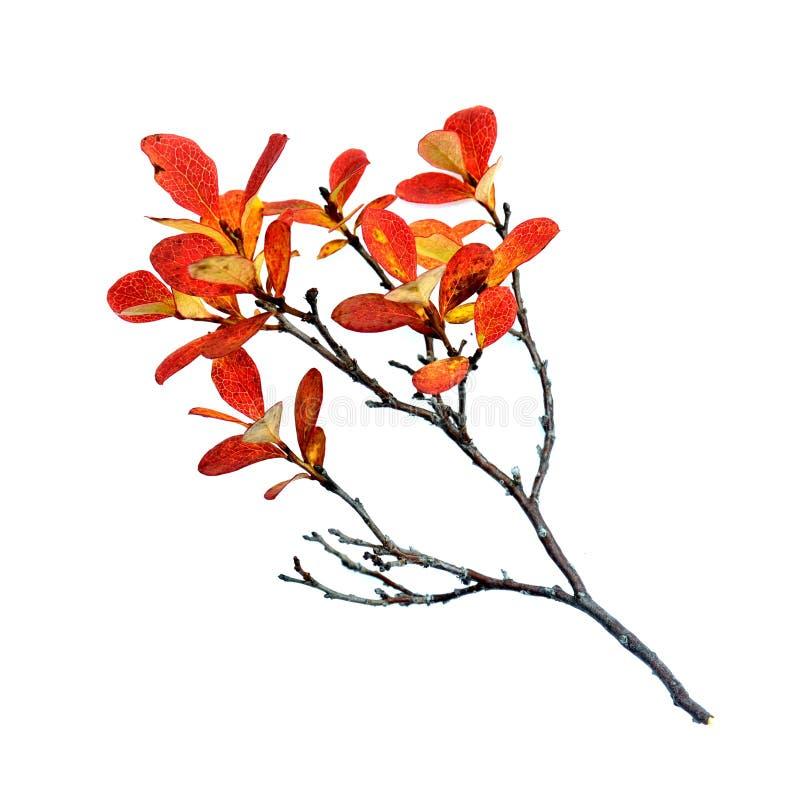 Листья черники в осени стоковые изображения