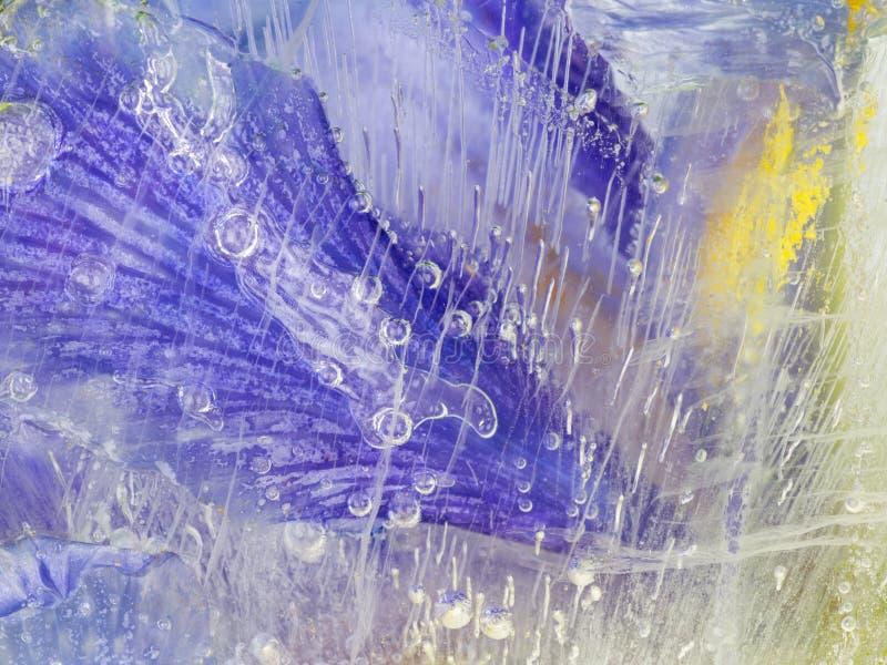 Яркая радужка, который замерли в льде стоковое изображение