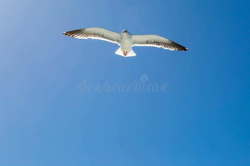 яркая чайка изображения полета солнечная стоковые фото