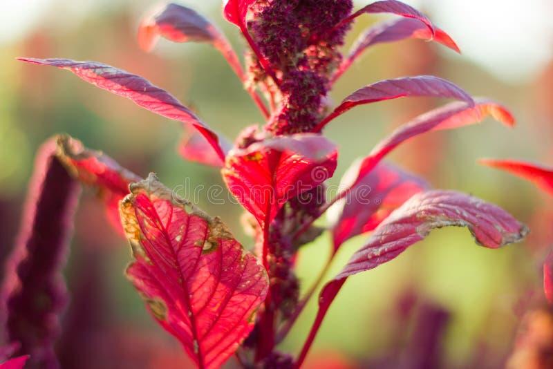 Яркая maroon осень амаранта стоковое фото