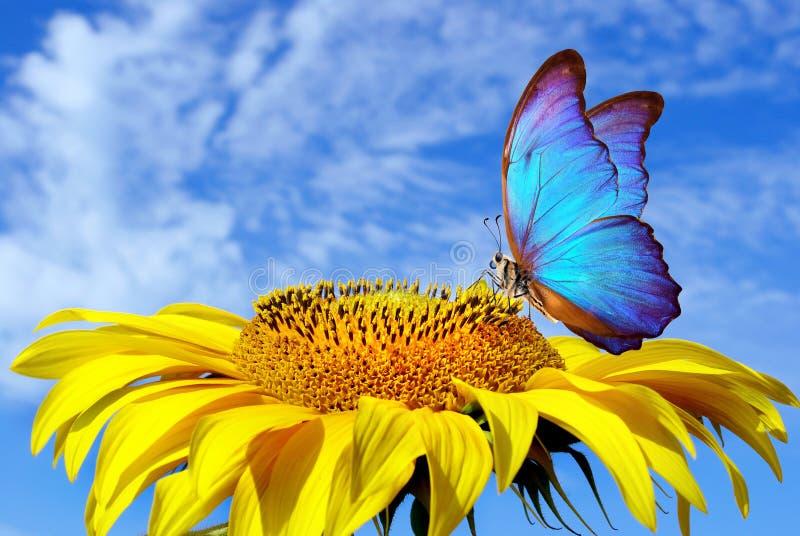 Яркие голубые morpho и солнцецвет бабочки против голубого неба бабочка на цветке бабочка летая стоковые изображения rf