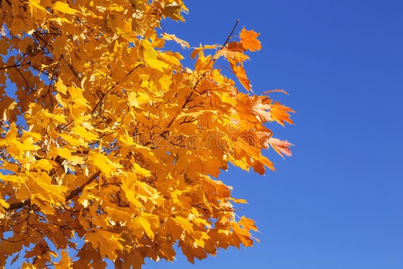 Яркие желтые кленовые листы осени стоковое фото