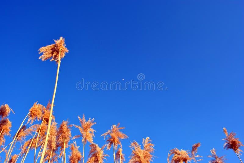 Яркие желтые сухие тростники выравниваются, голубое небо с небольшой белой луной, взглядом от земли на верхней части стоковые изображения