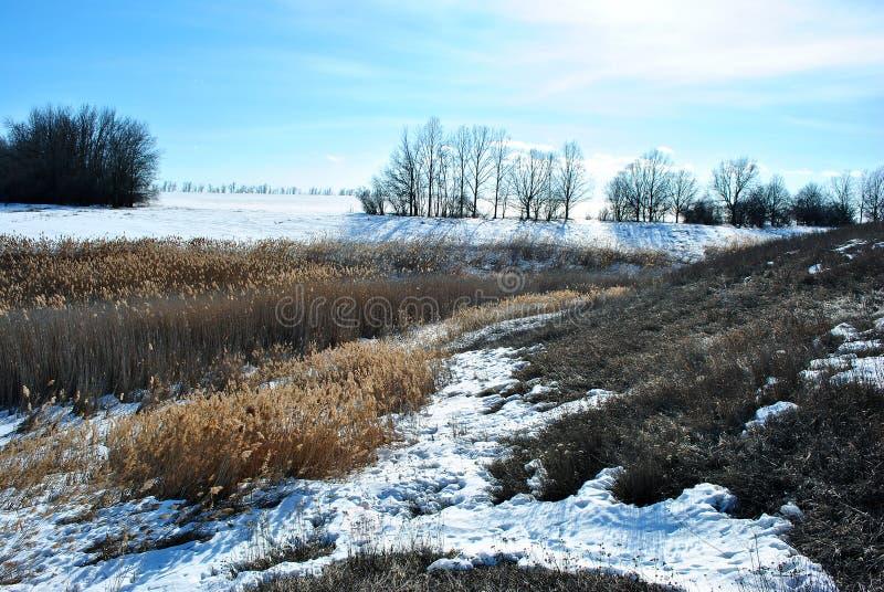 Яркие желтые сухие тростники на речном береге покрытом со снегом, голубым небом стоковые изображения rf