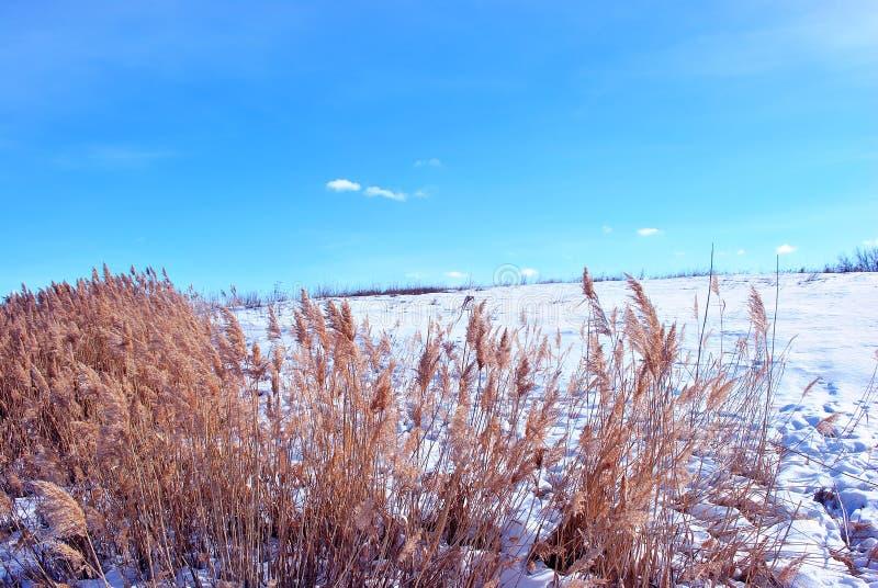 Яркие желтые сухие тростники на холме речного берега покрытом со снегом, голубым облачным небом стоковые изображения
