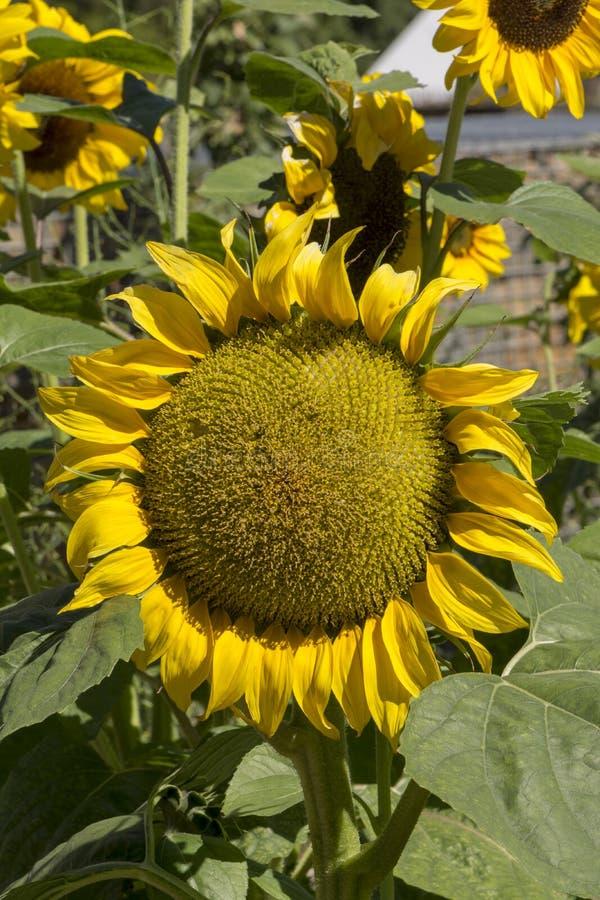 Яркие желтые цветки солнцецвета подсолнечника стоковые фото
