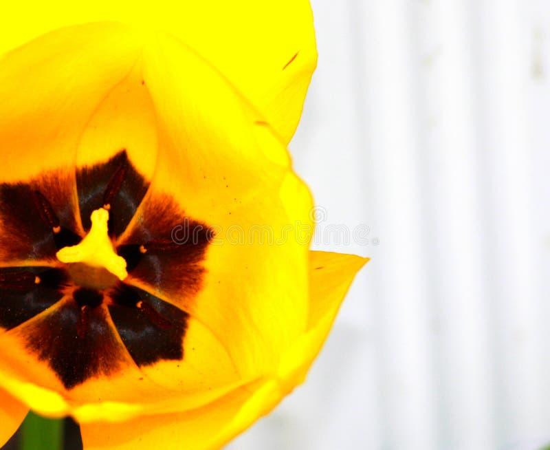 Яркие желтые детали центра черноты тюльпана стоковое фото rf