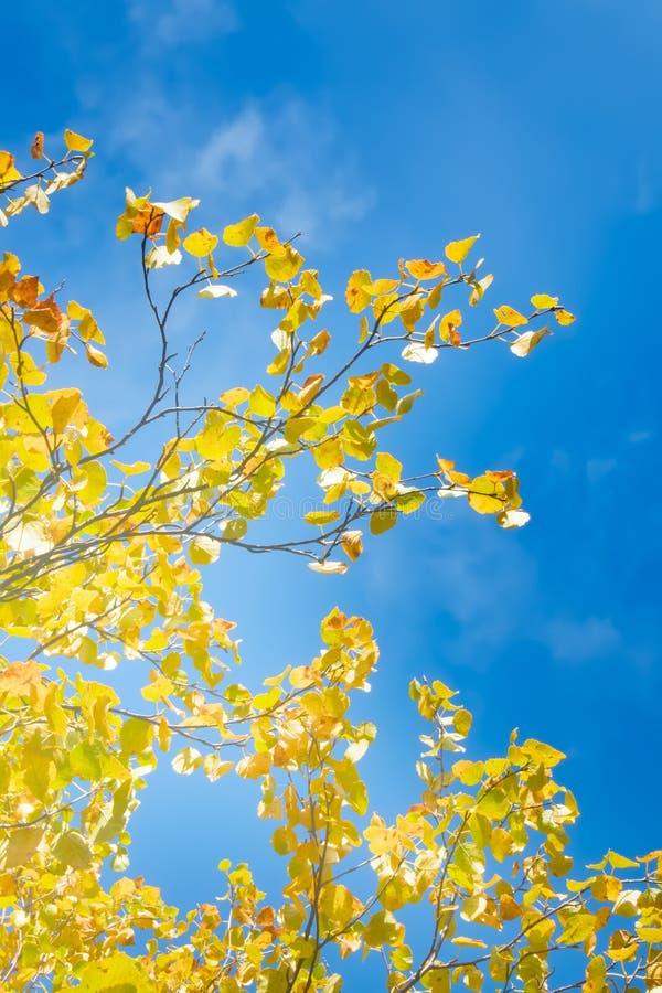 Яркие золотые листья северных осин на солнечный день осени стоковая фотография