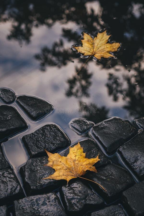 Яркие листья желтого цвета в лужице на земле стоковая фотография rf