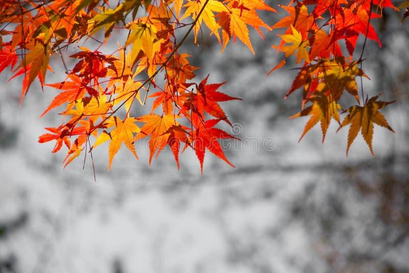 Яркие листья красного цвета стоковые изображения rf
