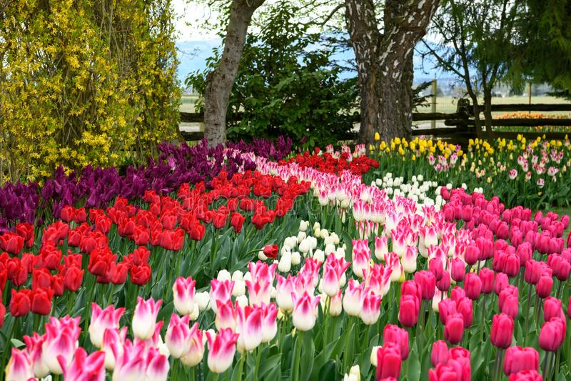Яркие и красочные тюльпаны в строках сада стоковое изображение