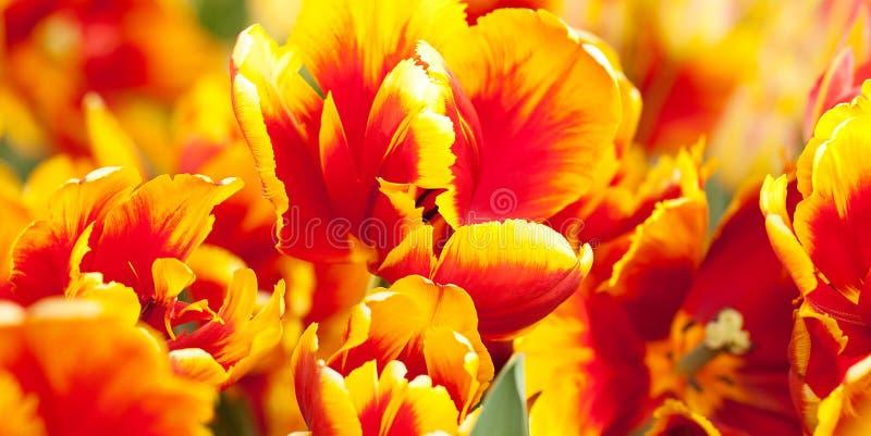 Яркие красно-желтые тюльпаны в поле лета солнечном стоковые изображения rf