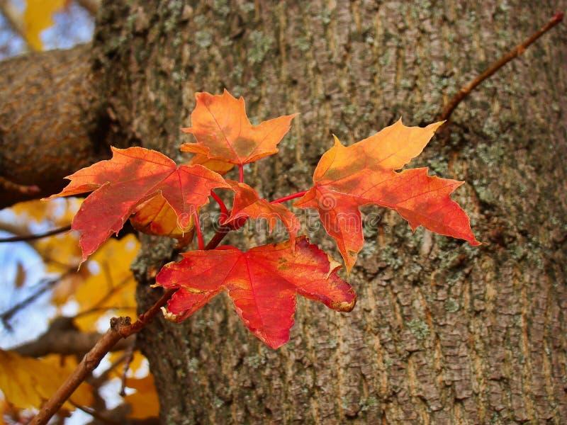 Яркие красные кленовые листы на фоне бочонка стоковое изображение rf