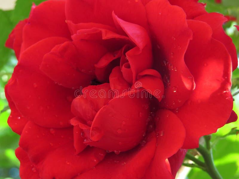 яркие красные розы, погруженные в зелёный листвух против голубого неба, изображают лучший аромат стоковые фотографии rf